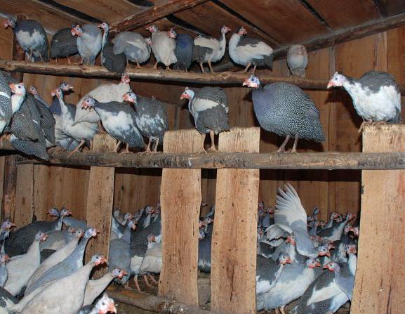 содержание домашних птиц фото